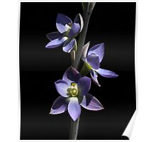 ~ Giant Sun Orchid ~ Poster