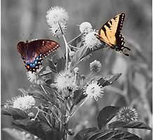 Butterflies gathering nectar Photographic Print