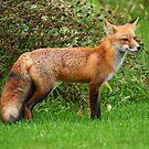 Red Fox by Raider6569