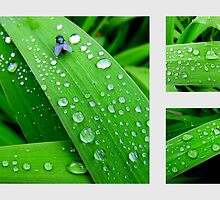 Rain Drops - In The Garden After Rainfall by Chris Goodwin