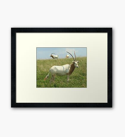 Scimitar-horned Oryx Framed Print