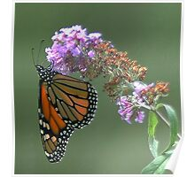 monarch on a flower Poster