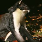 Diana Monkey Looking Up by Linda More