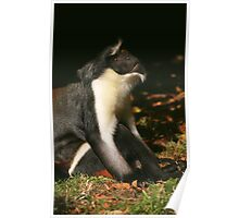 Diana Monkey Looking Up Poster