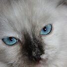 Ragdoll Kitten by Joe Norman