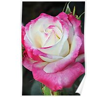 Pink and white rose Poster
