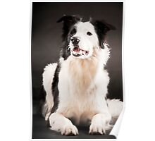 Lenny, the border collie Poster