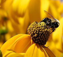 Bee And Yellow Daisy by djnoel