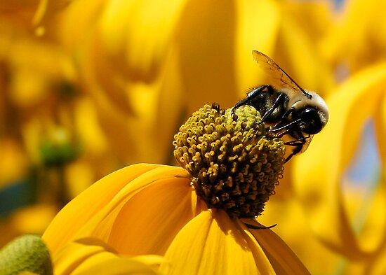 Bee And Yellow Daisy by djnoel
