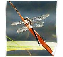 Emperor Dragonfly Poster