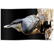 nuthatch caught red handed or in this case black beaked Poster