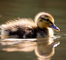 One Little Duck by Peter Denness