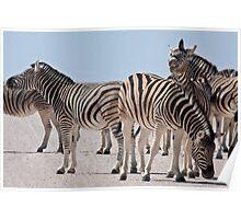 Zebra making faces Poster