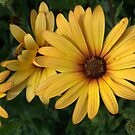 African Daisy by photosbycoleen
