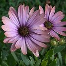 African Daisy II by photosbycoleen