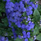 Ageratum - Hawaii Blue by photosbycoleen