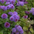 Ageratum - Tycoon Purple II by photosbycoleen