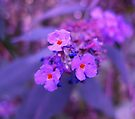 Purple Haze by Sukhwinder Flora