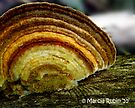 False Turkey Tail by Marcia Rubin