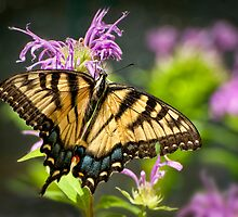 Sipping Nectar by Claudia Kuhn