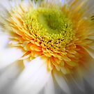 Gerbera amarilla by Blanchi-photos