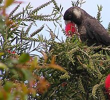 See what I mean about the black cockatoos? by georgieboy98