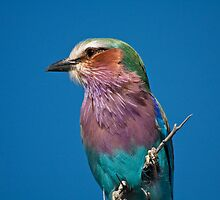 Lilac-breasted roller up close by Owed To Nature