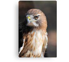 Red-Tail Hawk Metal Print