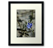 Blue Squill Framed Print