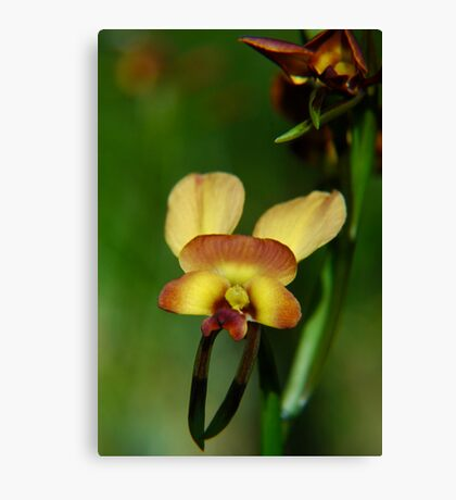 Donkey Orchid Canvas Print