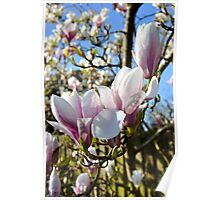 Magnolia in Bloom Poster