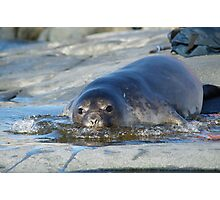 Baby Elephant Seal Photographic Print