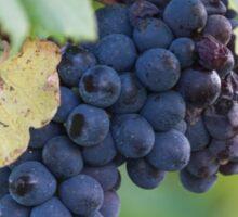 grape and vineyard Sticker
