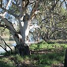 River Gums by the Darling River. by Ross Campbell