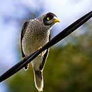 Curious Noisy Miner by Nick Sage