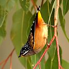 spotted pardalote just hanging around doing his thing by Grandalf