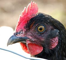 """BokBok"" - close-up of hen. by pollyorange"