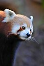 Red Panda by Renee Hubbard Fine Art Photography