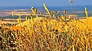 Golden grass texture like sun...... by Helen Vercoe