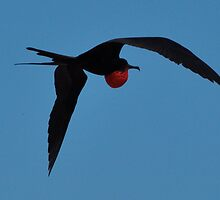 Male Greater Frigate Bird by Michaelcook