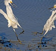 2 Egrets Arguing over their Territory by imagetj
