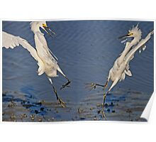 2 Egrets Arguing over their Territory Poster