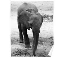 Pachydermic Beauty Poster