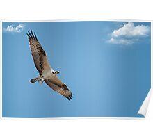 Osprey Bringing Home Dinner Poster
