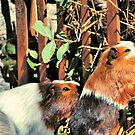 Guinea Pigs by Ihosvanny Cordoves