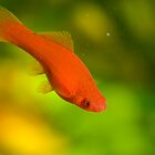 Red fish by Dfilyagin
