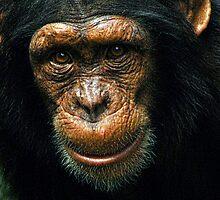 Baby Chimp by Darren Evans