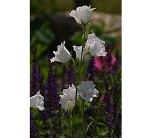 White Double Bellflower Photographic Print