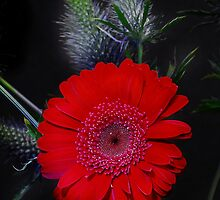 Red by evelynlarner