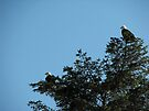 Pair of Bald Eagles by Brenda Boisvert